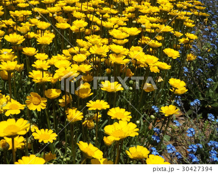 黄色い花のムルチコーレ 30427394