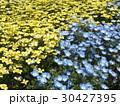 黄色いハナビシソウと青い花のネモフィラ 30427395