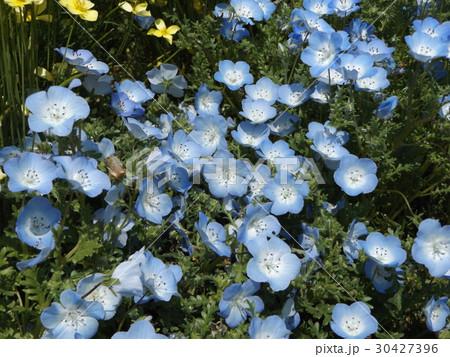 ネモフィラの青い花 30427396