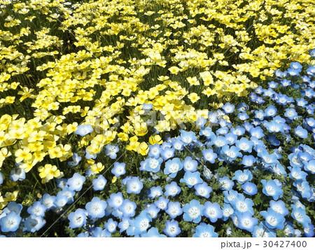 黄色い花のハナビシソウと青い花のネモフィラ 30427400