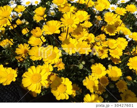 黄色い花のムルチコーレ 30427601