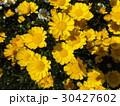 黄色い花のムルチコーレ 30427602