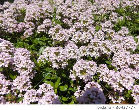 スイートアリッサムの白い花 30427777