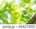 楓 新緑 春の写真 30427935