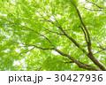 楓 新緑 春の写真 30427936