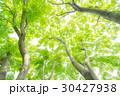 楓 新緑 春の写真 30427938