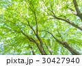 楓 新緑 春の写真 30427940