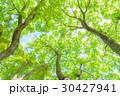 楓 新緑 春の写真 30427941
