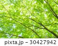 楓 新緑 春の写真 30427942