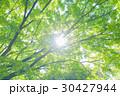 楓 新緑 春の写真 30427944
