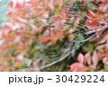 クモ クモの巣 水滴の写真 30429224