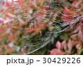 クモ クモの巣 水滴の写真 30429226