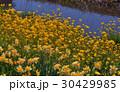 忍野村新名庄川の菜の花とスイセン 30429985