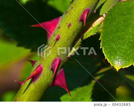 Thorns of roses 30432685