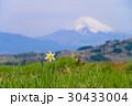 水仙 春 花の写真 30433004