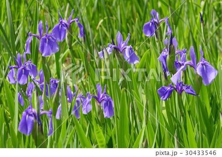 石神井公園の三宝寺池に咲くカキツバタ 30433546
