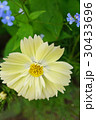 美しいレモンイエローのキバナコスモス 30433696