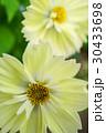 美しいレモンイエローのキバナコスモス 30433698