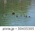 カルガモ 親子 鳥の写真 30435305