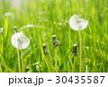 タンポポ セイヨウタンポポ 綿毛の写真 30435587