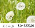 タンポポ 綿毛 セイヨウタンポポの写真 30435589