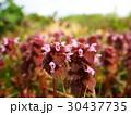 野原に咲く」ヒメオドリコソウ 30437735