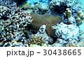 カクレクマノミ 水中 魚の写真 30438665