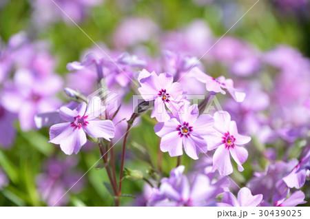 シバザクラ(芝桜) 30439025