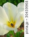 美しい白のチューリップ 30439968