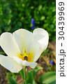 美しい白のチューリップ 30439969