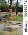 フラミンゴ 鳥 水鳥の写真 30449271