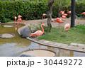 フラミンゴ 鳥 水鳥の写真 30449272