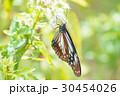 アサギマダラ 30454026