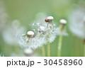 タンポポ 綿毛 種子の写真 30458960