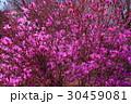 忍野村の赤紫のツツジRed purple azalea in Oshino Village 30459081