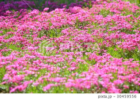 シバザクラ(芝桜) 30459556