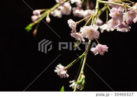 桜 さくら サクラ 30460327