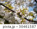 サクラ ピンク ヤマザクラの写真 30461587