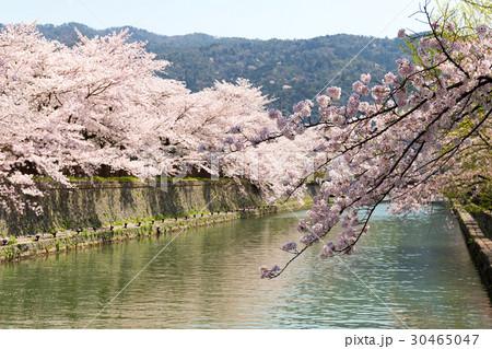 岡崎・桜回廊 30465047