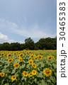 大洲市のひまわり、真夏の太陽を浴びて 30465383