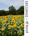 大洲市のひまわり、真夏の太陽を浴びて 30465385