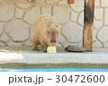 陸上動物 カピバラ 1匹の写真 30472600