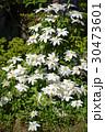クレマチス 花 満開の写真 30473601