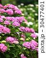 花 あじさい 紫陽花の写真 30477401