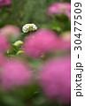 花 あじさい 紫陽花の写真 30477509