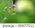 花 あじさい 紫陽花の写真 30477511