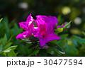 つつじの花 30477594