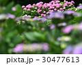 植物 花 あじさいの写真 30477613