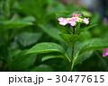 植物 花 あじさいの写真 30477615