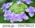 花 あじさい 紫陽花の写真 30478013
